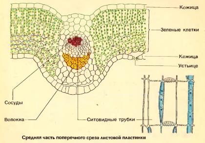 Микроскопическое строение листа стебля