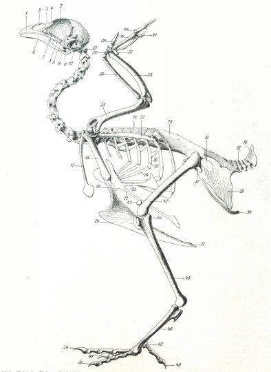 Отметьте в строении скелета